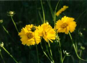 Dwf Lanced Leaved Coreopsis